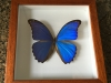 Giant Blue Morpho Butterfly