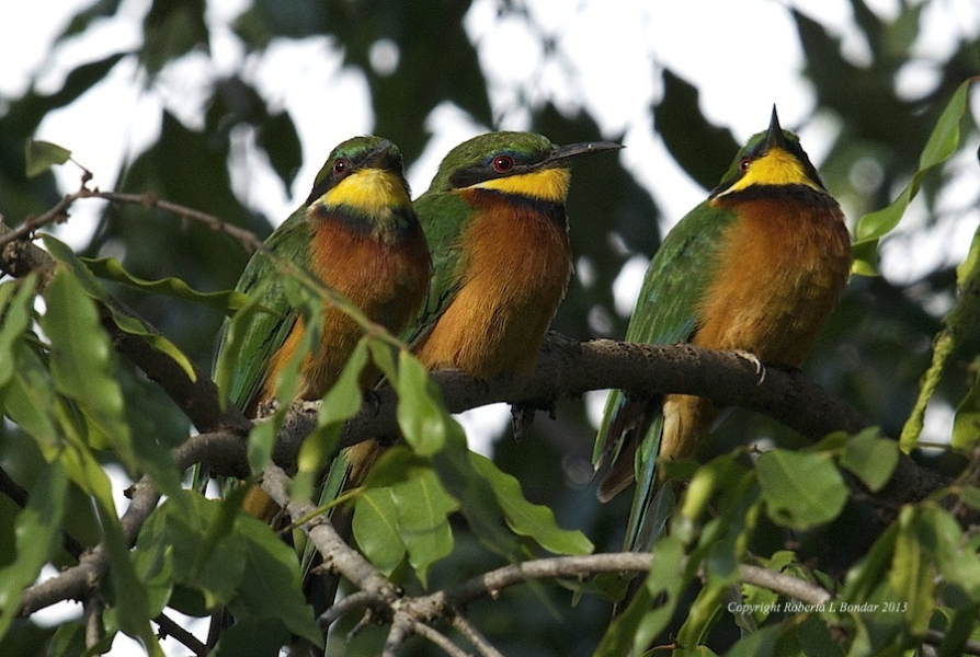 cinnamon-chested-bee-eater