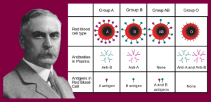Dr. Karl Landsteiner, discoverer of human blood groups.