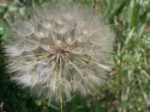 "First Place – ""A Giant Dandelion"" by Haley Bruder"