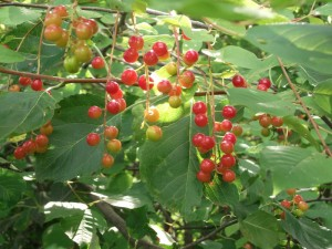 """Third Place – """"Berries"""" by Lily Bouquison"""