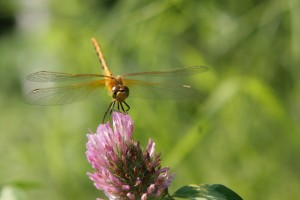 "Honourable Mention – ""Dragonfly Sitting on a Stick"" by Emily Murray"