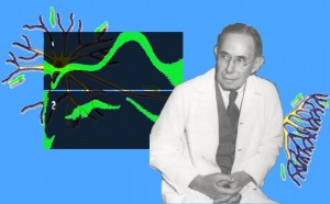 With an illustration of a single nerve cell body receiving, conducting, and transmitting impulses behind him, Dr. Erlanger contemplates the first two frames of a single sciatic nerve impulse captured in a fraction of a millisecond on an oscillograph.