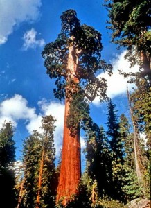 """The Giant Sequoia, """"General Grant"""" -- over 81.7 m (268 ft) tall with a ground circumference of 32.8 m (107.5 ft)"""
