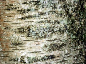 "Second Place JJ O'Neill – ""Birch Bark"" by Emma Hagerman"