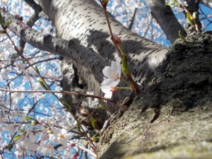 "Winner Parkdale Emerald Level – ""Cherry Blossom Tree"" by Elaf Hassan"
