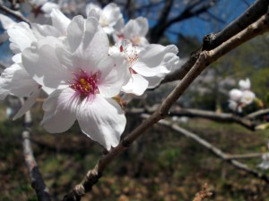 "Winner Parkdale Sapphire Level and Best Overall– ""Blooming Sakura"" by Himani Sangamesh"