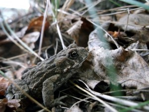 """Second Place Ruby – """"Frog in Disguise"""" by Danielle Garner"""