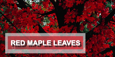 Eed Maple Leaves